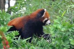 Panda rouge sur l'arbre Photographie stock