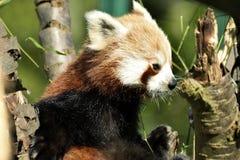 Panda rouge sur l'arbre en bambou Photographie stock libre de droits