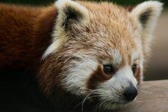 Panda rouge sur l'arbre en bambou Images libres de droits