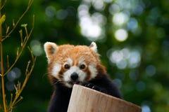 Panda rouge sur l'arbre en bambou Image stock