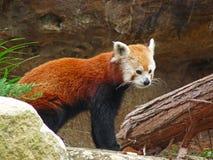 Panda rouge sur une roche Image libre de droits