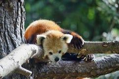 Panda rouge vers le haut d'un arbre Photographie stock libre de droits