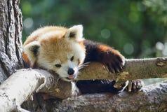 Panda rouge vers le haut d'un arbre Photos stock