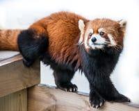 Panda rouge VI Photos libres de droits