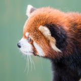 Panda rouge XI Photos libres de droits