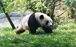 Panda running Royalty Free Stock Image