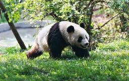 Panda running Royalty Free Stock Image