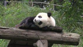 Panda s'étendant sur un toit en bois montrant sa langue et promenades loin à Chengdu Chine banque de vidéos