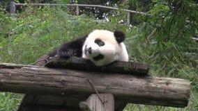 Panda s'étendant sur un toit en bois montrant sa langue et rayant le sien de retour à Chengdu Chine banque de vidéos