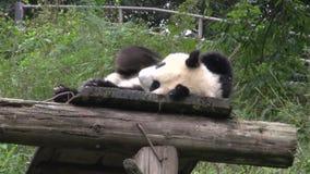 Panda s'étendant sur un toit en bois rayant le sien de retour à Chengdu Chine banque de vidéos