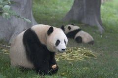 Panda's Royalty-vrije Stock Foto