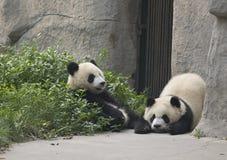Panda's Stock Foto's