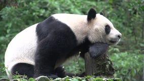 Panda se reposant sur un tronc d'arbre à Chengdu Chine banque de vidéos