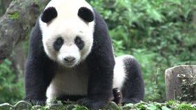 Panda se reposant sur un tronc d'arbre et baîllant et partant à Chengdu Chine clips vidéos
