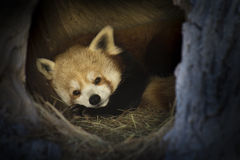 Panda Settles In For rouge un long petit somme d'hivers Image stock