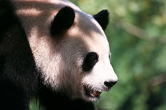 Panda in the shade Royalty Free Stock Images