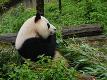 Panda in Sichuan reserve, China stock images