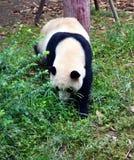 Panda in sicuan Chengdu Stockbilder