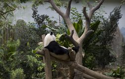 Panda in Singapore zoo. A giant panda was playing in the River Safari Singapore Royalty Free Stock Photography