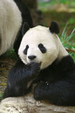 Panda Sitting Royalty Free Stock Image