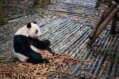 Panda sitting on wood and eating bambo. O, Chengdu, Sichuan Province, China Royalty Free Stock Photography