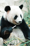 Panda. Sitting in a zoo Stock Photo
