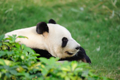 Panda sleeping Stock Photo