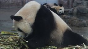 Panda sleeping and eating bamboo stock video footage