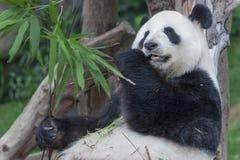 Panda. A Sleeping Giant panda bear Royalty Free Stock Photography