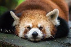 Panda Sleeping rojo fotografía de archivo