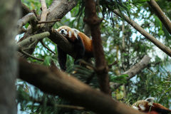 Panda Sleeping rojo Foto de archivo
