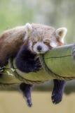 Panda Sleeping rojo Este dormido animal nocturno lindo imagenes de archivo