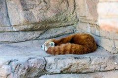 Panda Sleeping rosso Fotografie Stock