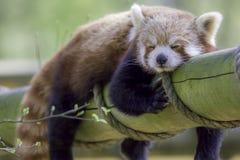 Panda Sleeping vermelho Animal bonito que toma uma sesta da tarde imagens de stock royalty free