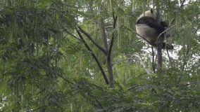 Panda sleeps very high up in a tree. Scene of a Panda sleeping very high up in a tree stock video footage