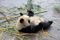 Panda. A small panda is eating fresh bamboo. Photo was taken on Jan 26th, 2012 Royalty Free Stock Photography