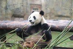 Panda Snack. A cute panda enjoying a favorite snack: bamboo stock photos