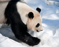 Panda in the snow Royalty Free Stock Image