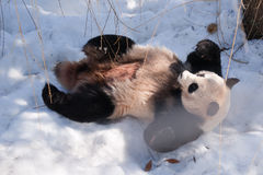 Panda in the snow Stock Images