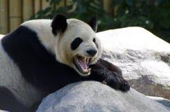 Panda somnolent Photo libre de droits