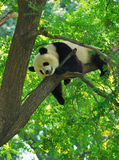 Panda sonolento na árvore imagens de stock royalty free