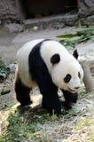 Panda. A strolling panda ,in zoo Royalty Free Stock Image