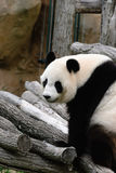 Panda sur des branches d'arbre image libre de droits