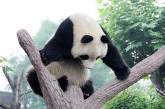 Panda sur l'arbre Image libre de droits