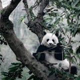 Panda sur l'arbre Image stock