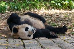 A panda surpreendente está dormindo na terra em China Imagem de Stock Royalty Free