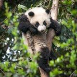Panda sveglio Fotografie Stock Libere da Diritti