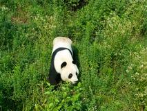 Panda. Symbol of china in sichuan Stock Image