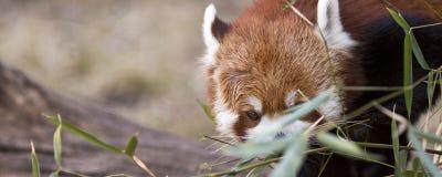 Panda tímida Imágenes de archivo libres de regalías