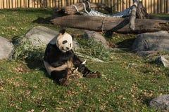 Panda in Toronto-Zoo Stockfoto